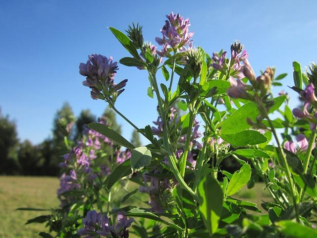 Alfalfa a její účinky na lidské zdraví